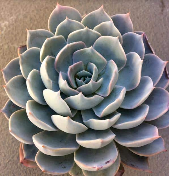 Top 12 Low Light Succulents And Cacti Succulent Plants