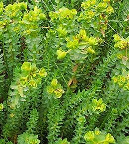 Euphorbia Paralias (Sea Splurge)