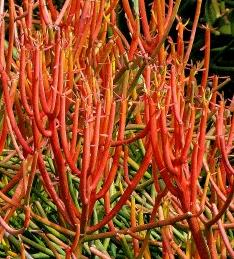 Euphorbia Tirucalli (Firestick Plants, Pencil Tree)