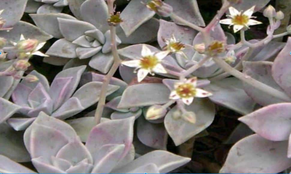 Graptopetalum Paraguayense (Ghost Plant)