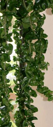 Hoya (The Hindu Rope or Wax Plant)