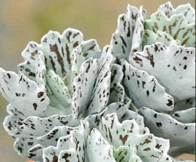 Kalanchoe Rhombopilosa (Pies from Heaven)