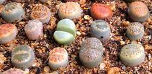 Mesembryanthemaceae (Lithops)