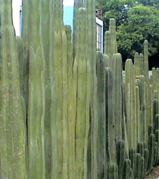 Pachycereus Marginatus (Mexican Fence Post Cactus)