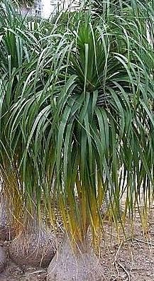 Beaucarnea Recurvata (Ponytail Palm Tree) with bushy green leaves and bulbous trunk