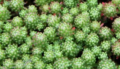 Sedum Iydium (Mossy Stonecrop)