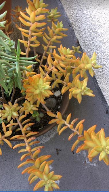 Sedum nussbaumerianum 'Coppertone Stonecrop'