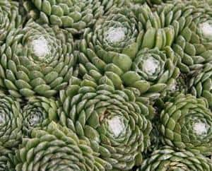 Sempervivums Hens and Chicks