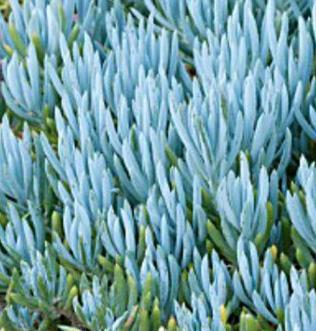 Senecio Mandraliscae (Blue Chalk Sticks