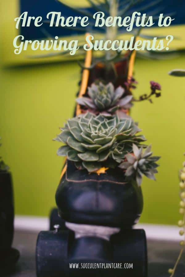Benefits of Growing succulents