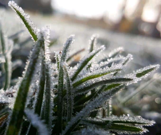 frost on succulents