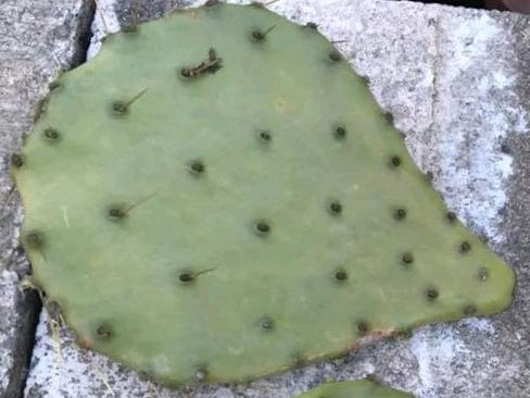 Cacti pad for propagation