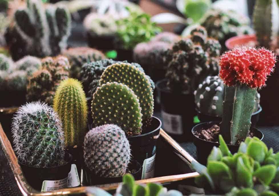 Cacti in nursery pots