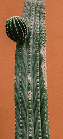 cactus propagation