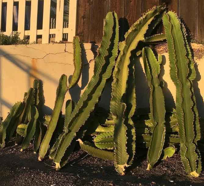 Cacti cuttings for propagation
