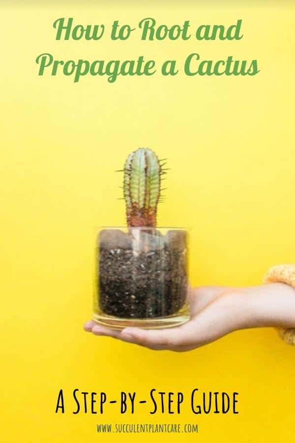 How to Easily root and Propagate a Cactus Step by step
