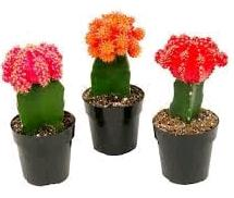 grafting a cactus