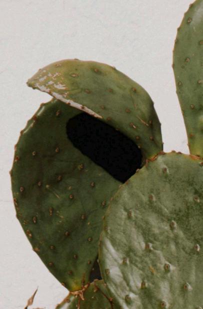 cactus pad propagation