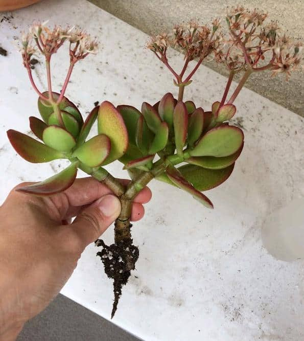 succulent propagation from stem cuttings