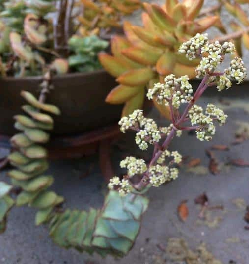 Crassula Perforata String of Buttons in bloom
