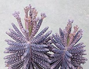 Kalanchoe Delagoensis (Mother of Millions, Devil's Backbone, Chandelier Plant)