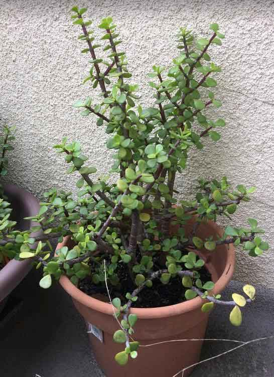 Portulacaria Afra (Elephant Bush, also called Dwarf Jade)