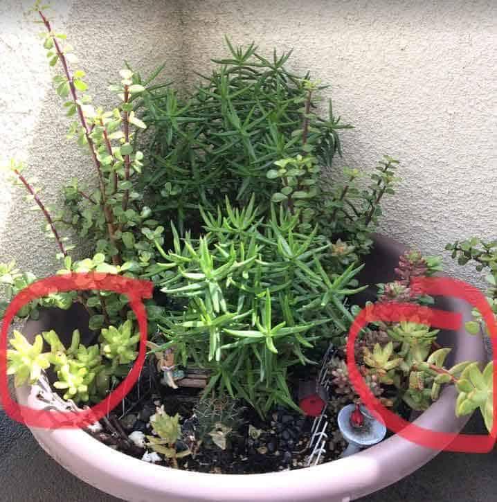 Sedum nussbaumerianum 'Coppertone Stonecrop' in a fairy garden planter