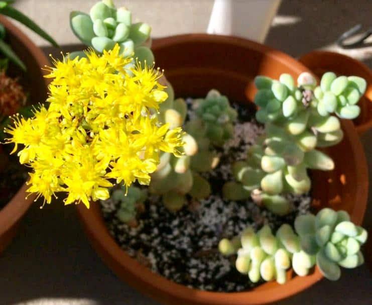 Sedum Treleasei in bloom