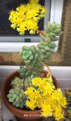 Sedum Treleasei in bloom with bright yellow flowers