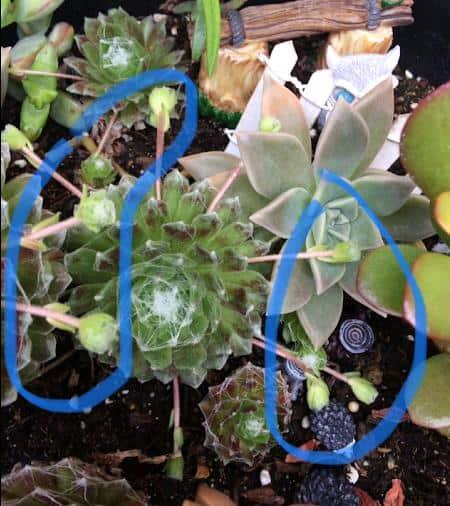 Sempervivum Arachnoideum 'Cobweb Hens and Chicks' offshoots