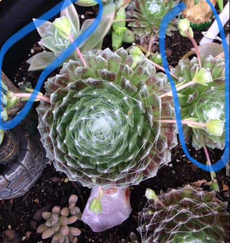 Sempervivum-Arachnoideum Cobweb Hens and Chicks