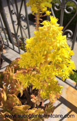 bright yellow flowers of a monocarpic Aeonium