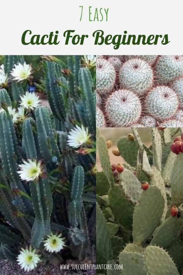 7 Easy Cacti for Beginners