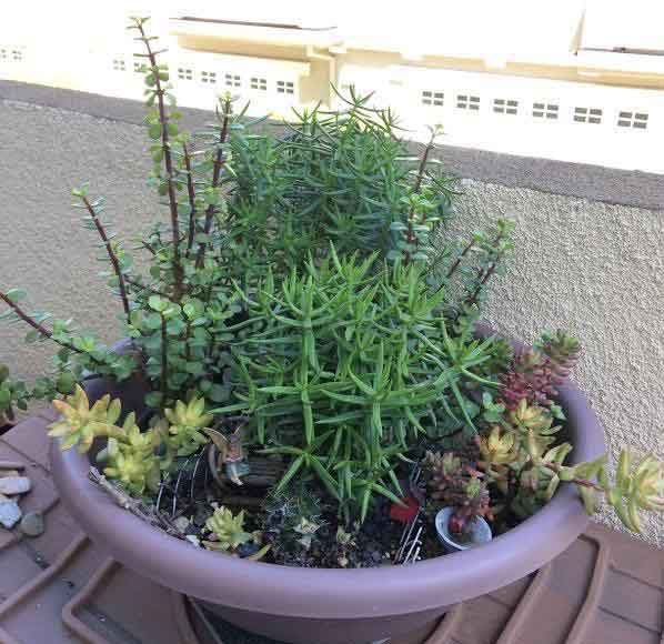 Revamping An Overgrown Succulent Fairy Garden Succulent Plants
