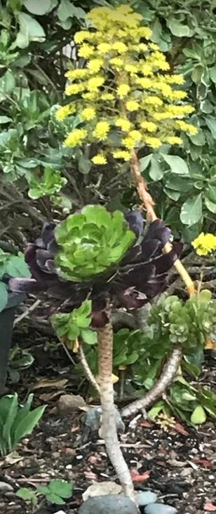 Monocarpic Aeonium in bloom