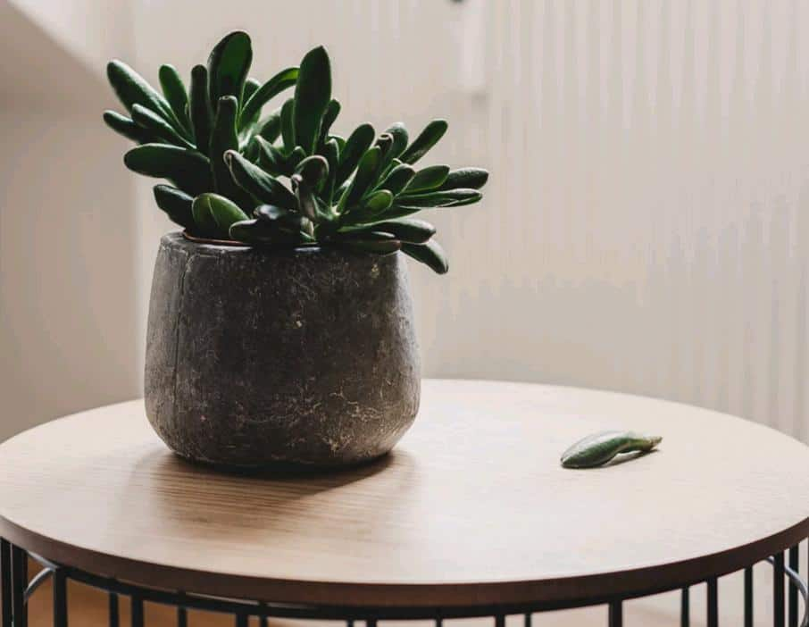 Top 12 Low Light Succulents And Cacti Succulent Plants And Care