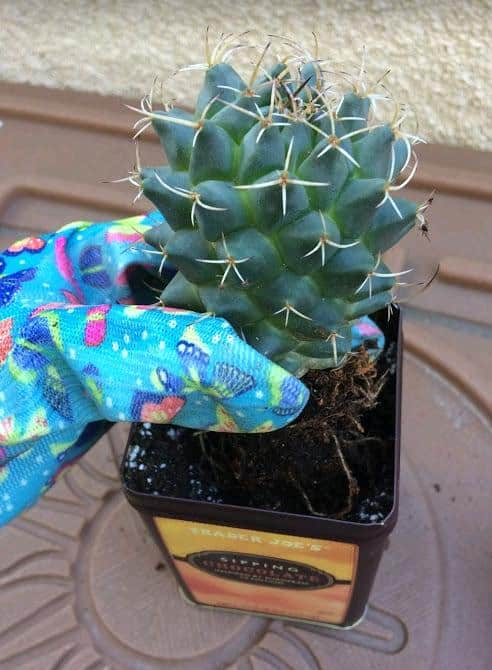 How To Use Upcycled Tin Can To Pot a Cactus
