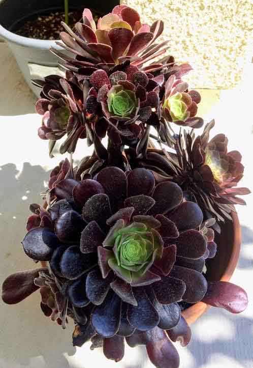 Aeonium Arboreum 'Zwartkop' (Black Rose) with dark purple leaves