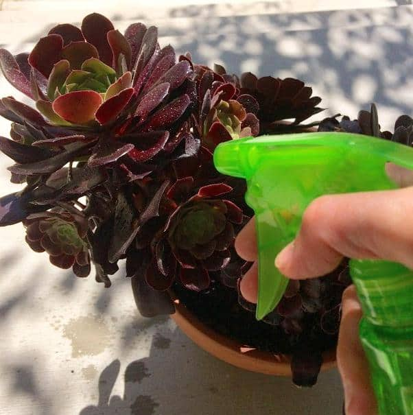 How to Treat For Ants, Mealybugs, Aphids on Succulents
