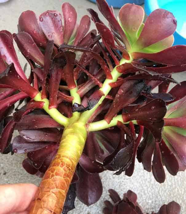 aeonium stems dunked in soapy water to get rid of aphids and mealybugs