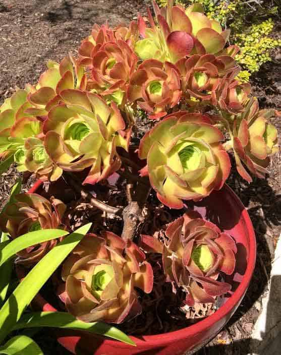 aeonium blushing beauty