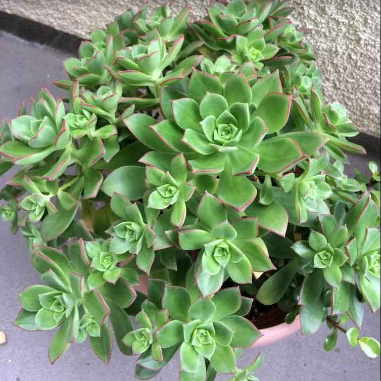 Aeonium Decorum 'Green Pinwheel'