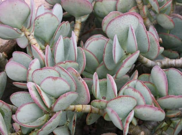 Crassula Arborescens (Silver Jade Plant)