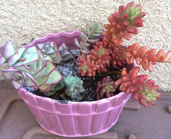 Sedum Rubrotinctum 'Aurora' (Pink Jelly Beans) and Crassula Perforata 'String of Buttons'  repotting