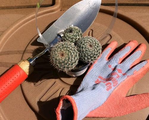 Repotting a mammillaria cactus