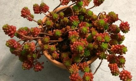 Jelly Bean Plant-Sedum Rubrotinctum Propagation and Care