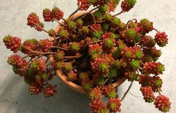 Jelly Bean Plant-Sedum Rubrotinctum Propagation and Care