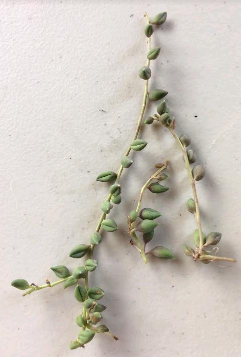 Senecio Rowleyanus 'String of Pearls' stem cuttings for propagation