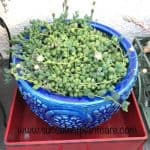 7 Tips on Growing String of Pearls (Senecio Rowleyanus)