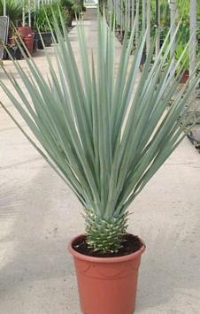 Yucca Rigida (Blue Yucca)